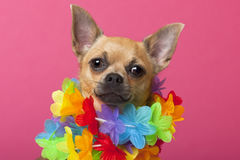 Close-up of Chihuahua wearing colorful lei, stock image