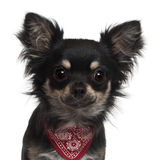 Close-up of Chihuahua wearing handkerchief Stock Photos