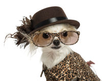Close-up of a Chihuahua wearing a hat and glasses Royalty Free Stock Photos