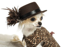 Close-up of a Chihuahua wearing a hat, isolated Royalty Free Stock Image