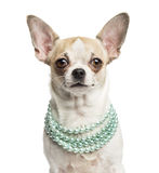 Close-up of a Chihuahua wearing a pearl necklace Royalty Free Stock Images