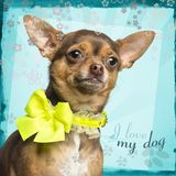 Close-up of a Chihuahua wearing a yellow bow collar, 18 months old. On designed background stock image