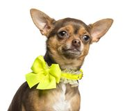 Close-up of a Chihuahua wearing a yellow bow collar, 18 months old. Isolated on white stock image