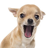 Close-up of a Chihuahua yawning Royalty Free Stock Images