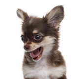 Close-up of a Chihuahua yawning puppy, isolated Stock Photos