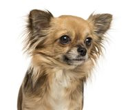 Close-up of a Chihuahua 2 years old, isolated. On white royalty free stock photography