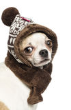 Close-up of a Chihuahua (2 years old) wearing a knit hat Royalty Free Stock Photography