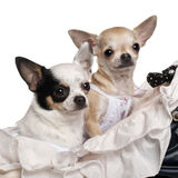 Close-up of Chihuahuas, 1 year old, in baby Royalty Free Stock Photography
