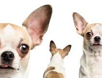 Close-up of Chihuahuas Royalty Free Stock Image