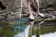Close Up Of Child Fishing In Rockpool With Net. Close Up Of Child Fishing In Rockpool Royalty Free Stock Image