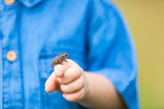 Close up of child hand with small frog Royalty Free Stock Photography