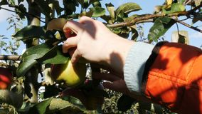 Close up of children`s hand plucking ripe apple from the branch. Picking apples in a garden - 4k stock video footage