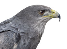 Close-up of a Chilean blue eagle - Geranoaetus melanoleucus. (17 years old) in front of a white background Royalty Free Stock Photos