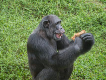 Close up of a chimpanzee eating durian stock images