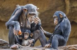 Close up of a Chimpanzee-family. Mother and her two kids royalty free stock photo