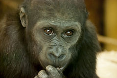 Close-up of a Chimpanzee Stock Photos
