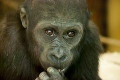 Close-up of a Chimpanzee. Looking at the camera Stock Photos