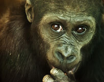 Close-up of a Chimpanzee Stock Image