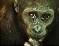 Close-up of a Chimpanzee. Looking at the camera Stock Image