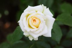 White China Rose in Garden. The close up of China rose in the garden stock image