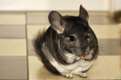 The Close-up Chinchilla Eating Stock Images