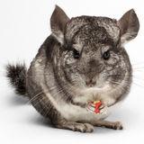 Close-up Chinchilla Eating Peanuts on white Royalty Free Stock Images