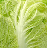 Close up of chinese cabbage fresh leaf Stock Photos