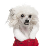Close-up of Chinese Crested Dog Stock Image