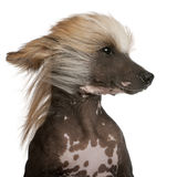 Close-up of Chinese Crested Dog. With hair in the wind, 7 years old, in front of white background Stock Photos