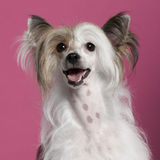 Close-up of Chinese Crested Dog Stock Photography