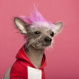 Close-up of Chinese Crested Dog Stock Photo