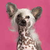 Close-up of Chinese Crested Dog Royalty Free Stock Images