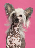Close-up of Chinese Crested Dog Stock Photos