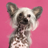 Close-up of Chinese Crested Dog in front of pink