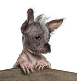 Close-up of a Chinese crested dog leaning on a wooden board Royalty Free Stock Photos