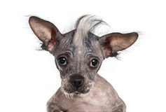 Close-up of a Chinese crested dog looking at the camera Stock Photography