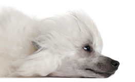Close-up of Chinese Crested Dog lying Stock Image