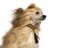 Close-up of a Chinese Crested Dog, 30 months old, isoalted Royalty Free Stock Images
