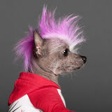 Close-up of Chinese Crested Dog with pink Royalty Free Stock Images
