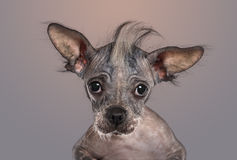 Close-up of a Chinese crested dog puppy looking at the camera Stock Photography