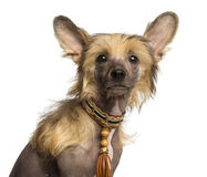 Close-up of a Chinese Crested Dog puppy looking at the camera Royalty Free Stock Photo