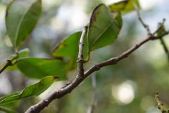 Close up of chinese guava tree stock photo