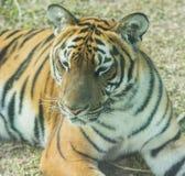 Close-up of South China Tiger royalty free stock images
