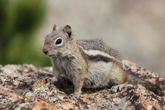 Close up of chipmunk sitting on rock. Portrait of chipmunk sitting on rock in the mountains, shallow depth of field, focus on face stock photo