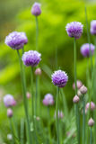 Close up of a chive flower Stock Photography