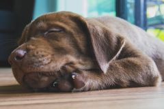 Close up of chocolate labrador retriever puppy, 3 months old, sleeping at cozy home royalty free stock photo