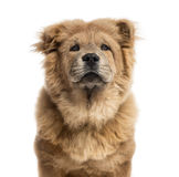 Close-up of a Chow-Chow Royalty Free Stock Photos