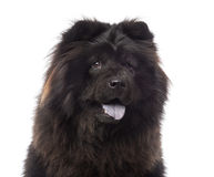 Close-up of a Chow Chow panting Stock Photo