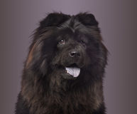 Close-up of a Chow Chow panting on a colored background. 3 years old Royalty Free Stock Image
