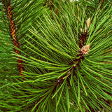 Close-up of Christmas pine fir tree branches background. Stock Photos